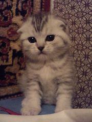 Продаю вислоухих и прямоухих шотландских котят. (Возможен торг)